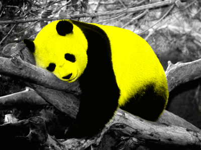 Panda Bear's best wishes: I wished to have a color foto. I wished to have a good sleep once in my life.
